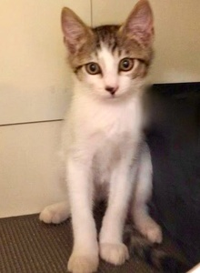 [picture of Fawno, a Domestic Medium Hair white/gray tabby cat]