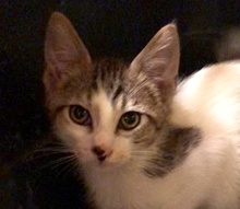 [picture of Fawno, a Domestic Medium Hair white/gray tabby\ cat]