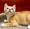 A picture of #ET02993: Cancun a Domestic Short Hair orange
