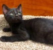 A picture of #ET02994: Juarez a Domestic Short Hair black