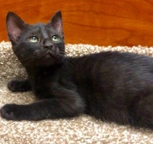 [picture of Juarez, a Domestic Short Hair black\ cat]