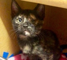 [picture of Cholula, a Domestic Short Hair tortie\ cat]