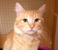 A picture of #ET02996: Bramble a Domestic Long Hair orange