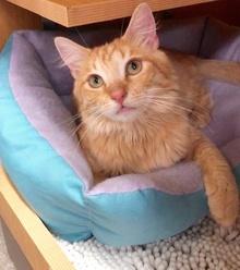 [another picture of Bramble, a Domestic Long Hair orange\ cat]