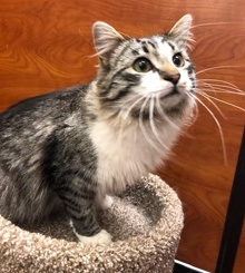 [another picture of Blaidesdell, a Ragdoll Mix brown tabby/white\ cat]