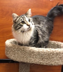 [picture of Blaidesdell, a Ragdoll Mix brown tabby/white cat]