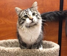 [picture of Blaidesdell, a Ragdoll Mix brown tabby/white\ cat]