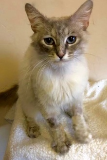 [another picture of Pearla, a Ragdoll Mix lynx point\ cat]