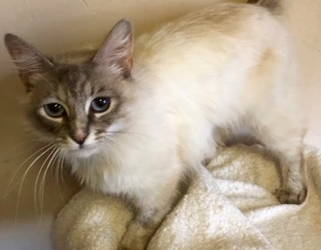 [picture of Pearla, a Ragdoll Mix lynx point cat]