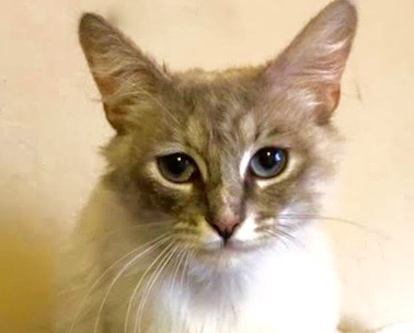 [picture of Pearla, a Ragdoll Mix lynx point\ cat]