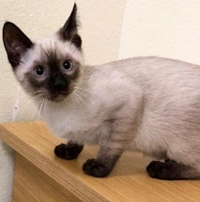 [another picture of Samurai, a Siamese seal point\ cat]