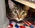 A picture of #ET03005: Lassie a Domestic Short Hair brown tabby