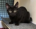 A picture of #ET03006: Lasso a Domestic Short Hair black