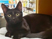 [another picture of Lasso, a Bombay Mix black\ cat]