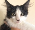A picture of #ET03007: Dylan a Ragdoll Mix black/white