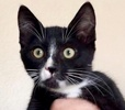 A picture of #ET03008: Nolan a Domestic Medium Hair black/white
