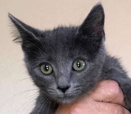 [picture of Jelly Bean, a Russian Blue Mix blue\ cat]