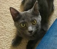 A picture of #ET03011: Alice a Russian Blue Mix blue