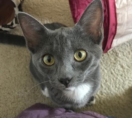 [picture of Annabelle, a Russian Blue Mix blue/white\ cat]