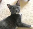 A picture of #ET03013: Avery a Russian Blue Mix blue/white