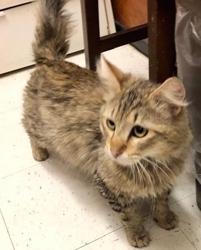 [picture of Harrah, a Domestic Long Hair gray cat]