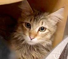 [picture of Harrah, a Domestic Long Hair gray\ cat]