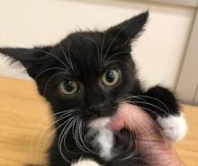 [picture of Bobbie, a Manx black/white\ cat]