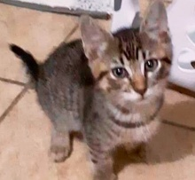 [picture of Pazookie, a Domestic Short Hair brown tabby\ cat]