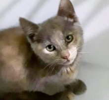 [picture of Lanikie, a Domestic Short Hair blue cream\ cat]