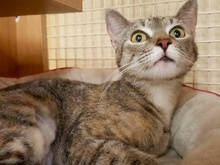 [another picture of Nama, a Domestic Short Hair torbie\ cat]