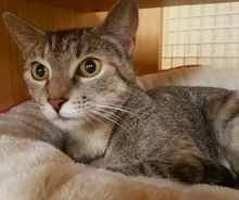 [picture of Nama, a Domestic Short Hair torbie\ cat]