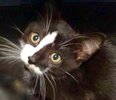 A picture of #ET03026: Aspen a Domestic Medium Hair black/white