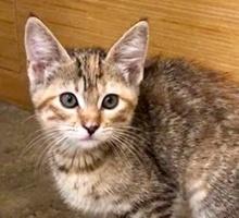 [picture of Brunette, a Domestic Medium Hair torbico\ cat]