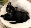A picture of #ET03029: Franky a Domestic Medium Hair black/white