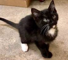 [picture of Franky, a Domestic Medium Hair black/white cat]