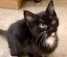 [picture of Franky, a Domestic Medium Hair black/white\ cat]