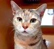 A picture of #ET03030: Sparkels a Domestic Short Hair calico
