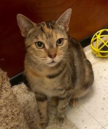[another picture of Sparkels, a Domestic Short Hair torbie\ cat]
