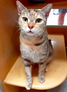 [picture of Sparkels, a Domestic Short Hair torbie cat]
