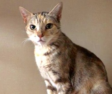 [picture of Sparkels, a Domestic Short Hair torbie\ cat]