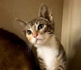 A picture of #ET03031: Rainbow a Domestic Short Hair calico