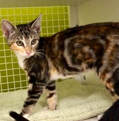 [picture of Rainbow, a Domestic Short Hair calico cat]
