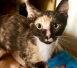 A picture of #ET03032: Sparkler a Domestic Short Hair calico