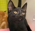A picture of #ET03033: Velvet a Domestic Short Hair black