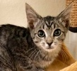 A picture of #ET03035: Locita a Domestic Short Hair silver tabby