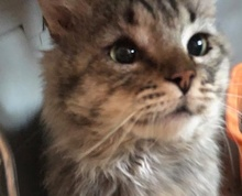 [picture of Tobey, a Maine Coon-x gray\ cat]