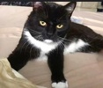 A picture of #ET03039: Deacon a Domestic Short Hair black/white