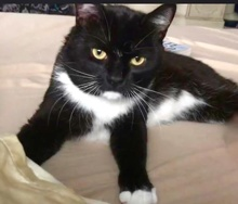 [picture of Deacon, a Domestic Short Hair black/white\ cat]