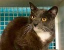 A picture of #ET03040: Darby a Domestic Short Hair blue/white