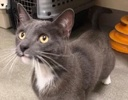 [picture of Darby, a Domestic Short Hair blue/white cat]